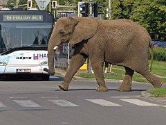 Procházka slonů z cirkusu Alex po Olomouci