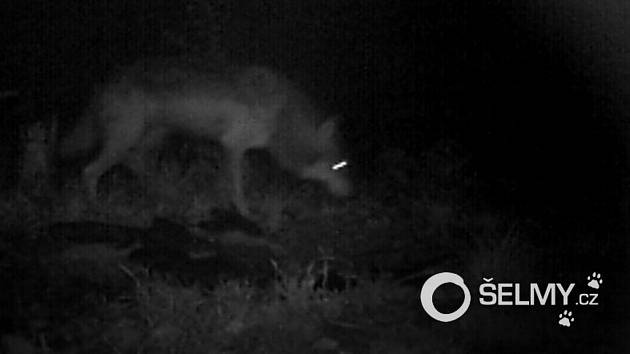 Fotopast zachytila vlka obecného na Šternbersku.