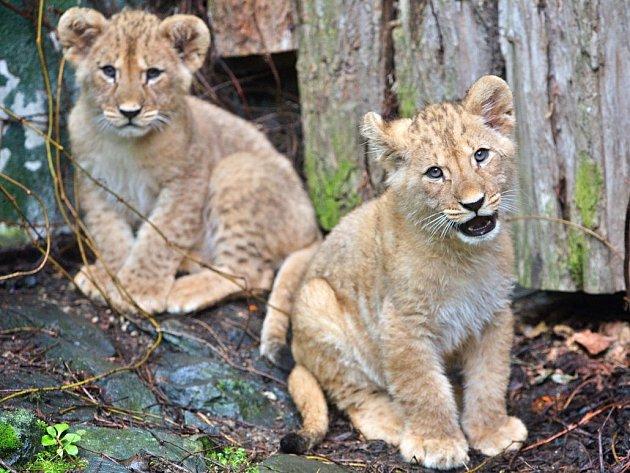Basty a Terry, mláďata lva berberského v olomoucké zoo