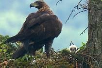 Mládě orla skalního na Libavé