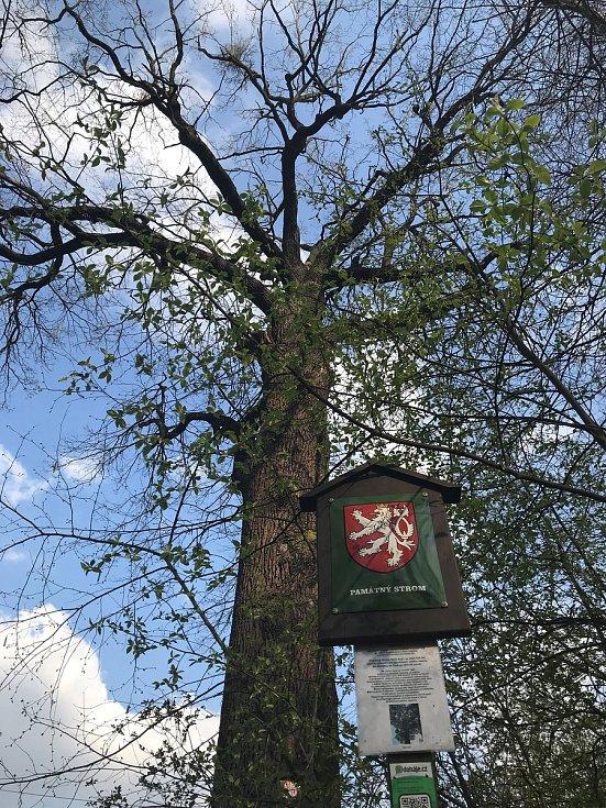 Královský dub v lese Království u Grygova, kde se zastavují pěší a cyklisté a trhají česnek. Nacházejí se však v rezervaci.