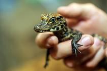 Mládě krokodýla čelnatého v olomoucké zoo