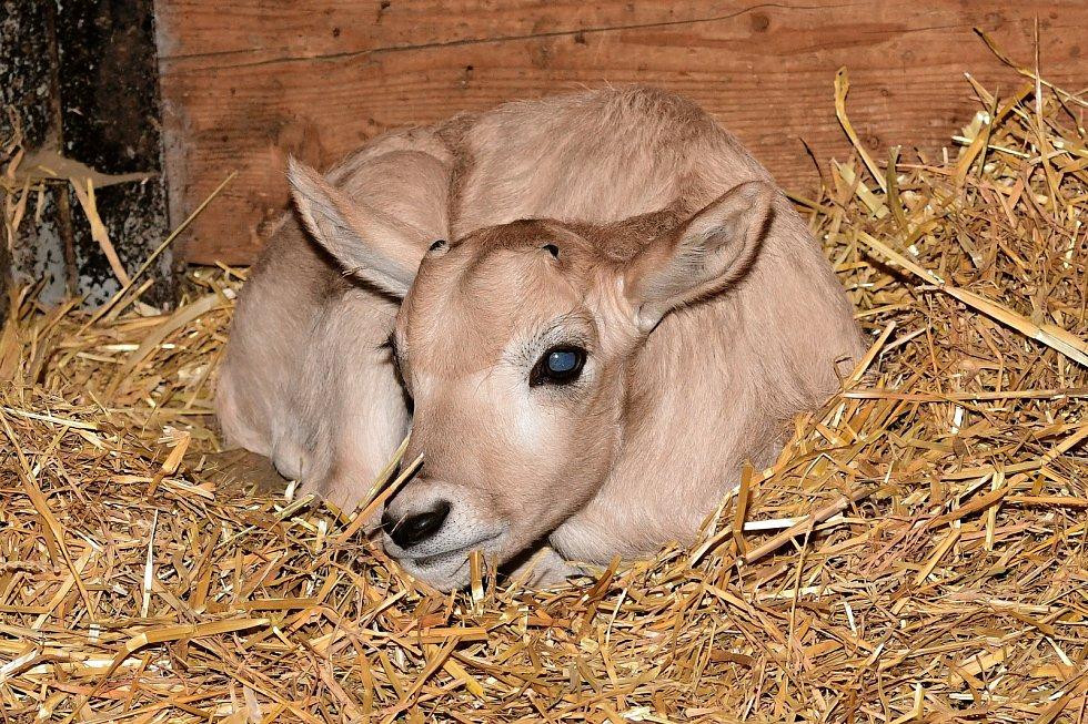 Kriticky ohrožené pouštní antilopy adax mají v Olomouci přírůstek. V zoo je prvním mládětem roku 2020.