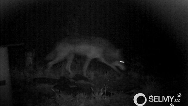 Fotopast zachytila vlka na Šternbersku