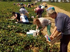 Jahodové plantáže ve Slavoníně - středa 23. května 2018 dopoledne