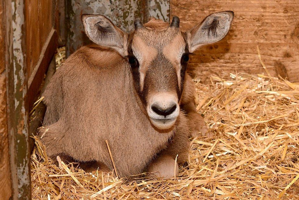 U oryxů jihoafrických v olomoucké zoo nyní rodí jedno mládě za druhým.