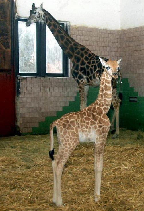 Nové žirafí mládě v olomoucké zoo.