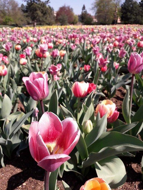 Aby se zahradníci dočkali záplavy květů, musejí vysázené tulipány chránit před nenechavými bažanty sítěmi.