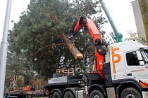 Nakládání vánoční borovice na Tabulovém vrchu