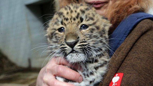 Mládě levharta mandžuského volomoucké zoo dostalo jméno Doubravka