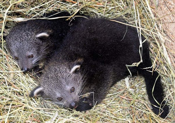 Volomoucké zoo na Svatém Kopečku se narodila dvojčata binturonga