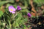 Prvosenka (Primula x pruhonicensis), Gruzínská zahrada. Jedná se o skupinu hybridních prvosenek na jejichž vzniku se podílela Primula juliae.