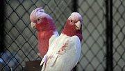 kakadu růžový - mutace