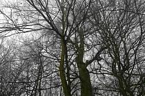Některé duby a jilmy z Litovelského Pomoraví se stanou památnými stromy.