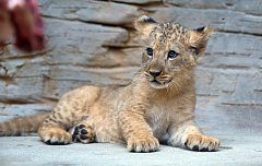 Jubilejní dvacáté lvíče lva berberského odchované v olomoucké zoo.