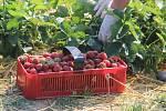 Samosběr jahod v Bochoři. Ilustrační foto