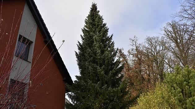 Vánoční strom, který letos ozdobí náměstí T. G. Masaryka roste zatím v Lipové.
