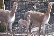 Rodinka lamy vikuně.