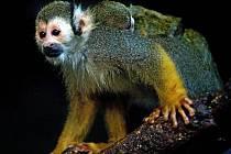 Mládě kotula veverovitého v olomoucké zoo