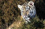 Faunapark v Horní Lipové - tygr ussurijský