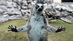 Letošní mláďata v Zoo Olomouc. LEMUR KATA (Lemur catta)