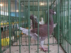 Memoriál Josefa Vrbky je okresní soutěžní výstava holubů. V sobotu v Litovli uspořádali její 38. ročník. V chovatelském areálu v Příčné ulici se táhly dlouhé řady klecí s holuby nejrůznějších barev, velikostí a podob.
