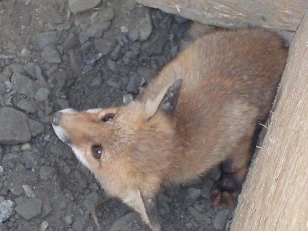 Záchran lišek z jámy u silnicie