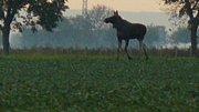 Samec losa evropského pohybující se na Moravě