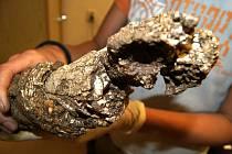 Zrestaurovaný mamutí kel. Archeologický nález z vykopávek na staveništi bytových domů v olomoucké části Povel