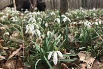 Lužní lesy Litovelského Pomoraví.  (15.března 2020)