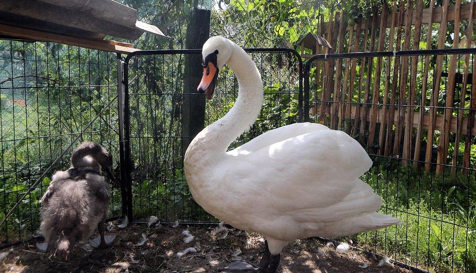 Zachráněné labutě z Želechovic mají nový domov.