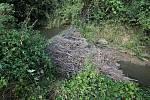Bobr a bobří hráz na Nemilance v roce 30.7.2013.