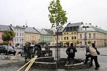 Vysazování platanu javorolistého na náměstí ve Šternberku