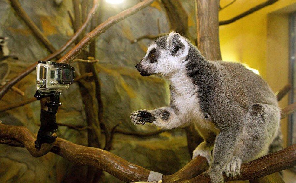 Natáčení lemurů v olomoucké zoo