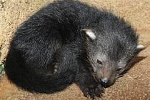 V olomoucké zoo se narodilo mládě binturonga. Ošetřovatelé se zatím nedostali do jeho blízkosti. Na snímku je jeden z předchozích potomků olomouckého chovného páru