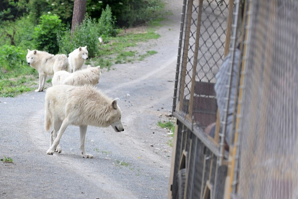 Safari Amerika v olomoucké zoo na Svatém Kopečku, 17. 6. 2020