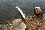 Úhyn ryb v rybníku Hamrys v Olomouci