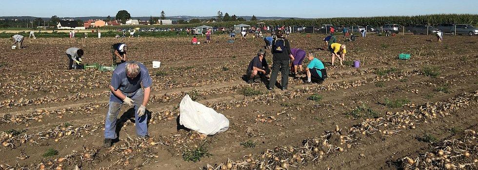 Ve Vojnicích, místní část Těšetic, začal samosběr cibule, mrkve, zelí či červené řepy. 25. srpna 2020