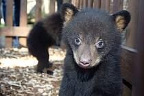 Medvíďata baribalů v olomoucké zoo narozená 4. ledna 2017