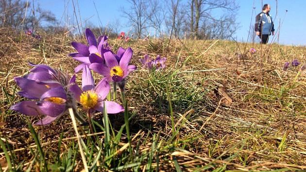 Koniklec velkokvětý patří na seznam chráněných druhů rostlin. U Strejčkova lomu v těchto dnech začíná rozkvétat. Jde o unikátní lokalitu, kde počty fialových kalichů plných zlatožlutých tyčinek přesahují sedm tisíc.