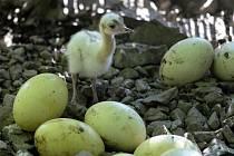 Nandu pampový. Zoo Olomouc upustila od umělých odchovů v líhni. Cílem je ukázat návštěvníkům, jak kuřata vodí a odchovává otec.