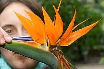 Strelitzia Reginae ve Sbírkových sklenících