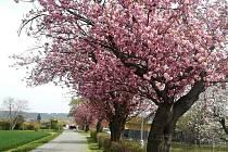 Dechberoucí rozkvetlé sakury zdobí obec nedaleko Olomouce.
