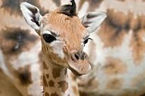 Žirafí mládě v olomoucké zoo
