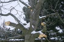 Ořezané a poničené stromy v třešňové aleji u Bohuňovic