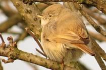 U Hradeckého rybníka v Tovačově objevili ornitologové další vzácný ptačí druh – pěnici malou ze Střední Asie.