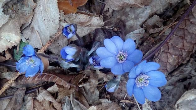 Jaterník roste v prosvětlených listnatých a smíšených lesích nebo v lískových i jiných křovinách na kamenitém a hlinitém podkladu, ve vyšších polohách se váže na vápenec. Na Olomoucku se hojně vyskytuje na Třesíně či Špraňku.