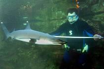 Měření žraloků není snadné.
