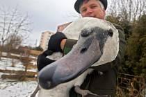 Samec labutě velké po záchraně v pobočce Záchranné stanice dravců a sov Stránské v Uničově