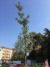 Hnutí spOLečně před pár dny instalovalo na stromy v centru města zavlažovací vaky. Město krok kritizuje, stromům to prý může uškodit. Foto: Deník/Ondřej Dluhí